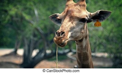 Giraffe Chewing Plants In Reserve - Closeup of giraffe face...