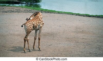 Giraffe Cleans Herself And Walks - Giraffe grooms herself...