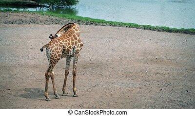Giraffe Cleans Herself And Walks - Giraffe grooms herself...