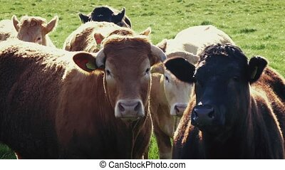 Group Of Cows In Field - Cows standing in the sunlight and...