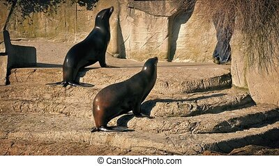 Sea Lions At Feeding Time - Sea lions excitedly go towards...