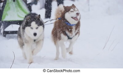 musher hiding behind sleigh at sled dog race in slow motion...