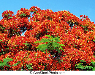 Ramat Gan Wolfson Park red acacia 2011 - Flowering tree red...