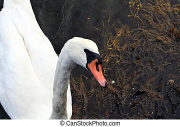 single white Cygnus olor mute swan swimming in the sea...