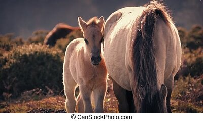 Horse Foal Next To Mother At Sunset - Young horse stands...