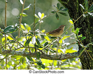Palm Warbler on Tree Branch - Migratory Palm Warbler Perched...