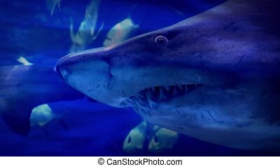Huge Shark Swims Past Very Close - Huge great white sharks...