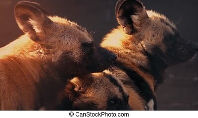Hyenas In The Evening Sun - Hyena pack in the warm sunlight