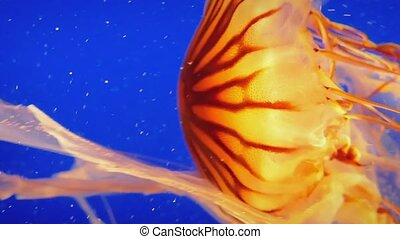 Jellyfish Gracefully Propels Itself - Bright orange...