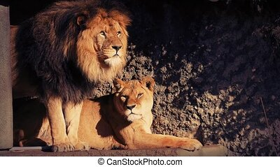 Lion Couple In The Shade - Male and female lion together in...