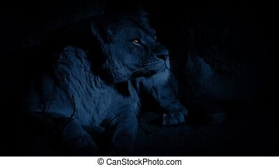 Lioness In Den With Glowing Eyes - Female lion in her den...