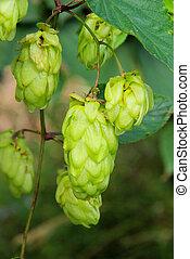 hop plant 04