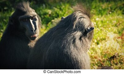 Long Faced Monkeys Enjoying The Sun - Crested macaque...