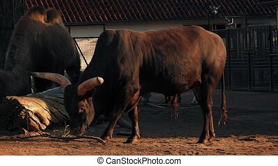 Long-Horned Cow In The Evening Sun - Cow with large horns in...