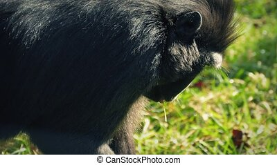 Monkey Finding Food To Eat In The G - Small black macaque...