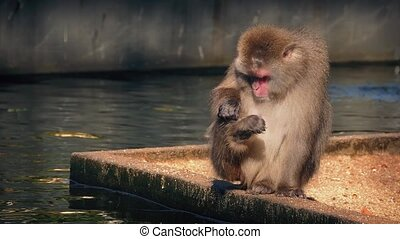 Monkey Grooms Himself By Water - Macaque monkey sitting next...