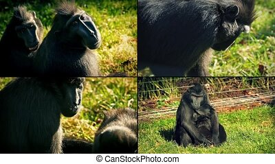 Monkeys In Reserve Montage - Four scenes of macaque monkeys...