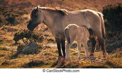Mother Horse Feeding Foal At Sunset