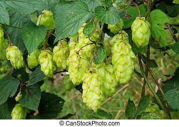 hop plant 01
