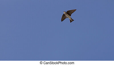 Blue Tree swallow bird, Tachycineta bicolor, flies over the...