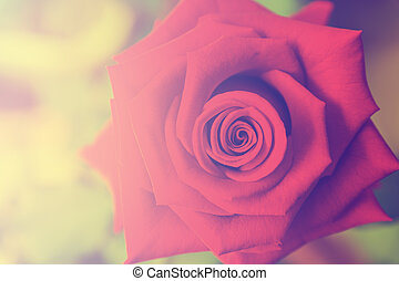 single rose close-up