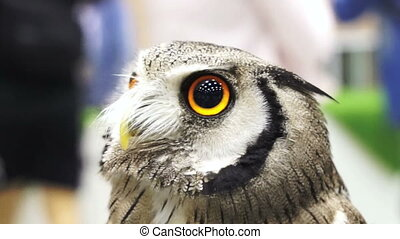 Small Northern white-faced owl - Close up shot of Small...