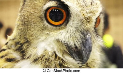 Close up Eurasian eagle owl - Close up shot of an Eurasian...