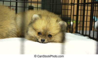 Small adorable of Pomeranian puppy dog in the cage. Innocent...