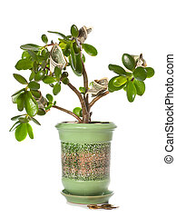 Potted home plant Crassula with dollar bills in flower form...