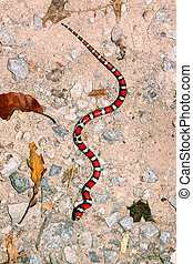 Red Milk Snake Illinois Wildlife