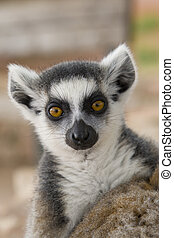 Ring-tailed Lemur Lemur Catta Portrait