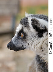 Ring-tailed Lemur (Lemur Catta) Portrait