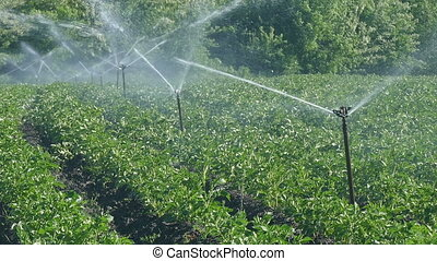 Agriculture, potato field watering - Irrigation system for...