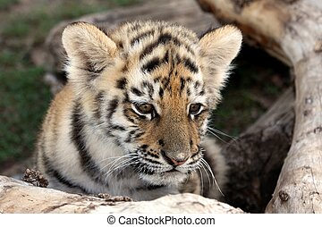 Baby Tiger - Cute baby siberian tiger hiding behind a tree...