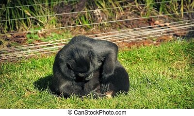 Mother Monkey Looking After Baby - Macaque mother holds her...