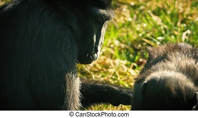 Mother Monkey Eats Insects Off Baby - Macaque mother grooms...