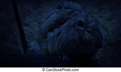 Nocturnal Cave Mice Huddling - Small cave dwelling mouse...