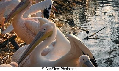 Pan Across Pelicans On Shore - Group of pelicans near water...