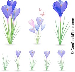 collection of crocuses with butterflies for your design