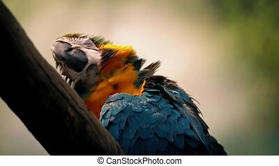 Parrot Fluffs Its Feathers - Blue-and-yellow macaw bird...