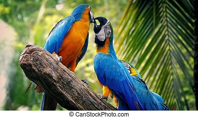 Parrots Fighting With Each Other - Blue-and-yellow macaws...
