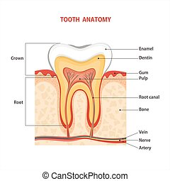 Tooth medical anatomy. Vector illustration