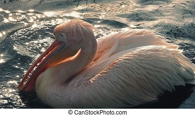 Pelican Splashing Wings In Water - Pelican floating on a...