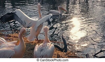 Pelicans Swim And Stand By Water - Group of pelicans...