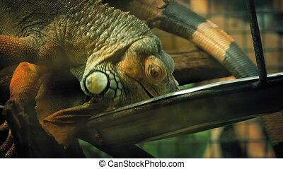 Pet Iguana Lizard Eating From Tray - Large iguana lizard...