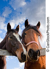 Togetherness - Two horses looking over the wooden fence of...