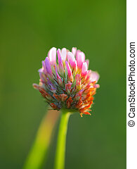 Red clover flower on summer green meadow.