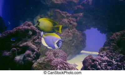 Blue Tang, Regal Tang Paracanthurus Hepatus - Blue Tang...