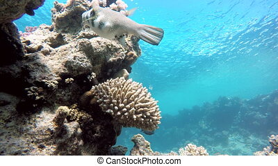 Scuba, Diving on a tropical reef - Coral reef Exotic fishes...