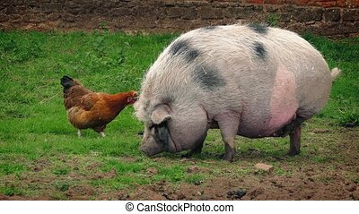 Pig And Chicken On The Farm - Large pot bellied pig waddles...